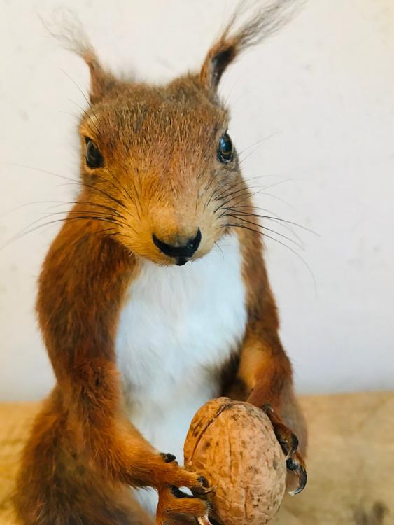 Rode eekhoorn van de Veluwe